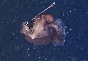 anglerfish-teeth.jpeg